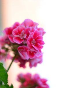 Geranie (Pelargonie) - Quelle: Pixabay